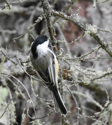 Photo of Black Capped Chickadee Spanish Moss Fenlands Banff on naturalcrooksdotcom