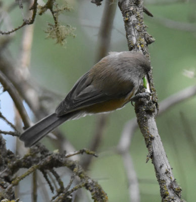 Photo of Boreal Chickadee Back Fenlands Banff on naturalcrooksdotcom
