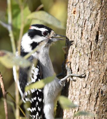 Photo of Downy Woodpecker Rattray October on naturalcrooksdotcom