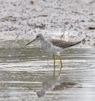 Photo of Greater Yellowlegs Facing Left on naturalcrooksdotcom