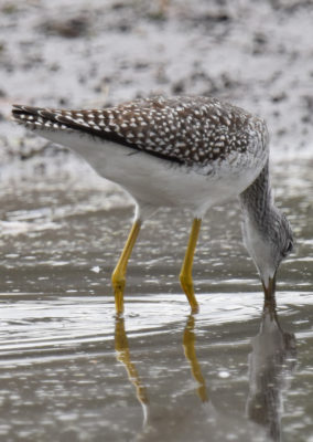 Photo of Greater Yellowlegs Flanks on naturalcrooksdotcom