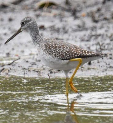 Photo of Greater Yellowlegs Knee Bends on naturalcrooksdotcom