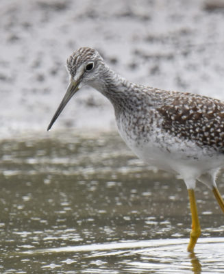 Photo of Greater Yellowlegs Looking For Food on naturalcrooksdotcom