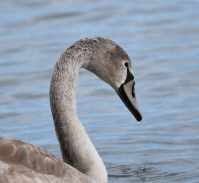 Photo of Mute Swan Juvenile Outlet on naturalcrooksdotcom