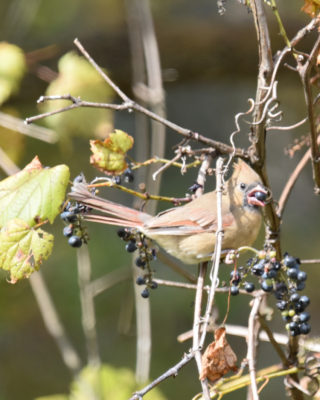 Photo of Northern Cardinal Female Eating Grape on naturalcrooksdotcom