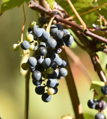 Photo of Riverbank Grapes Ripening on naturalcrooksdotcom