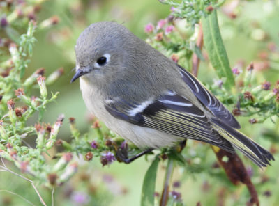 Photo of Ruby-crowned Kinglet Asters on naturalcrooksdotcom