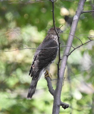 Photo of Sharp-shinned Hawk Juvenile on naturalcrooksdotcom