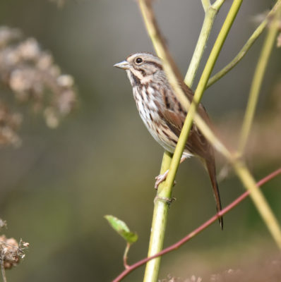 Photo of Sparrow on Cow Parsnip on naturalcrooksdotcom