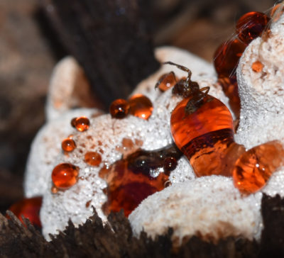 Photo of Strawberries Cream Fungus Dead Insect on naturalcrooksdotcom