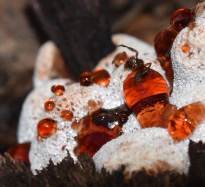 Photo of Strawberries Cream Fungus Dead Insect on naturalcrooksdotcom