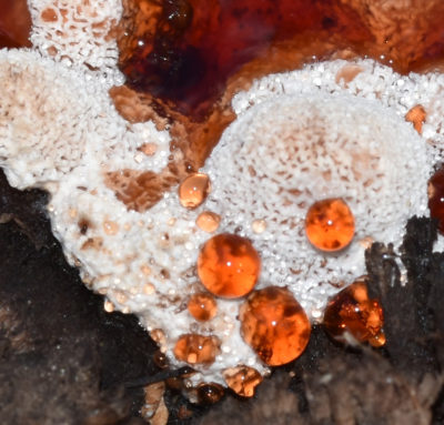 Photo of Strawberries Cream Fungus New Bubbles Old Sticky on naturalcrooksdotcom