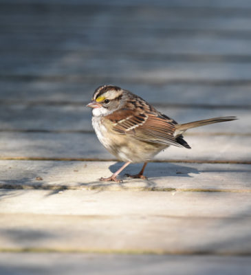 Photo of White-throated Sparrow on the Boardwalk on naturalcrooksdotcom
