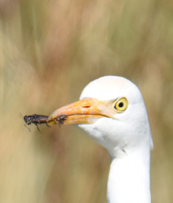 Photo of Cattle Egret Closeup With Grasshopper on naturalcrooksdotcom