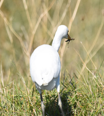Photo of Cattle Egret With Large Grasshopper on naturalcrooksdotcom