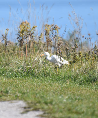 Photo of Cattle Egret in Goldenrod on naturalcrooksdotcom