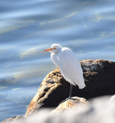 Photo of Cattle Egret on Limestone Block on naturalcrooksdotcom