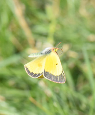 Photo of Clouded Sulphur Flying On naturalcrooksdotcom