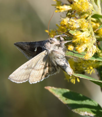 Photo of Moth on Goldenrod on naturalcrooksdotcom
