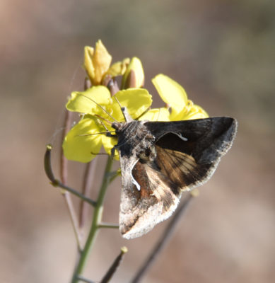 Photo of Moth on Possible Mustard on naturalcrooksdotcom