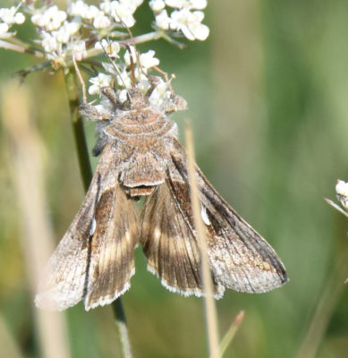 Photo of Moth on Queen Annes Lace on naturalcrooksdotcom