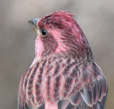 Photo of Purple Finch Male Head Shoulders on naturalcrooksdotcom
