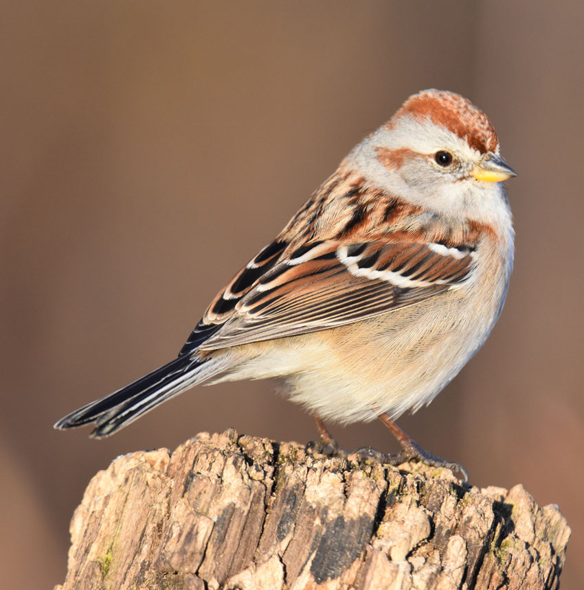 Photo of American Tree Sparrow Riverwood on naturalcrooksdotcom