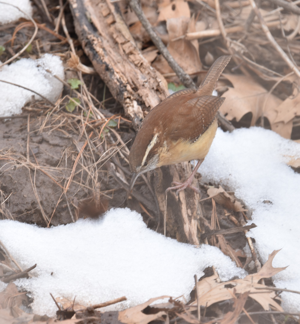 Photo of Carolina Wren Log Snow on naturalcrooksdotcom