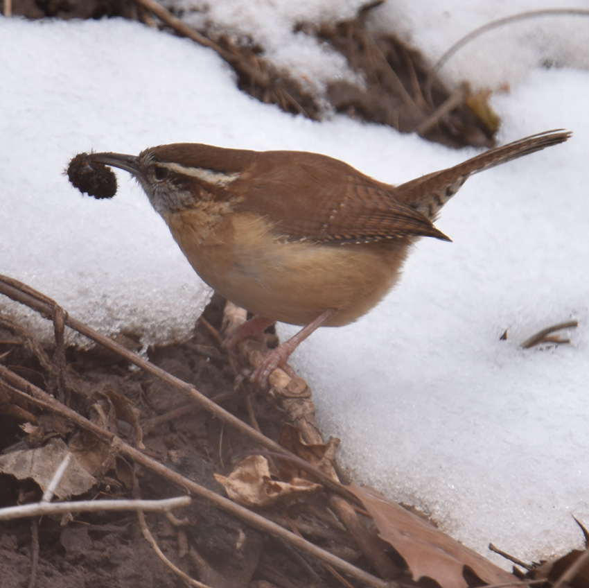 Photo of Carolina Wren with Spikey on naturalcrooksdotcom
