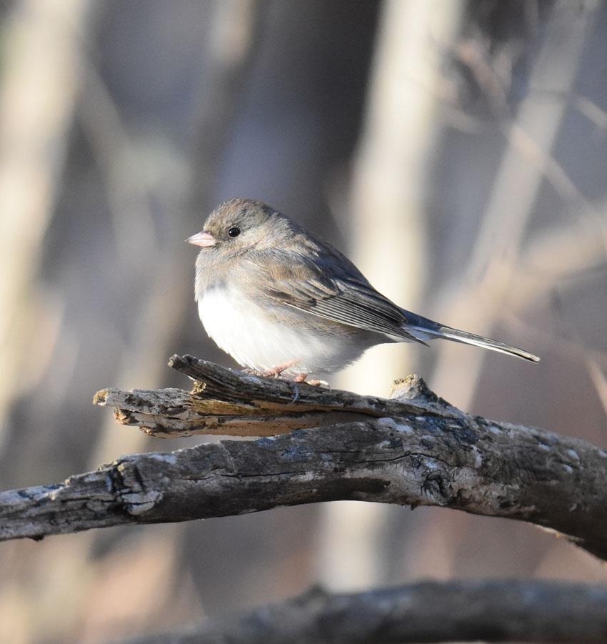 Photo of Dark Eyed Junco Riverwood on naturalcrooksdotcom