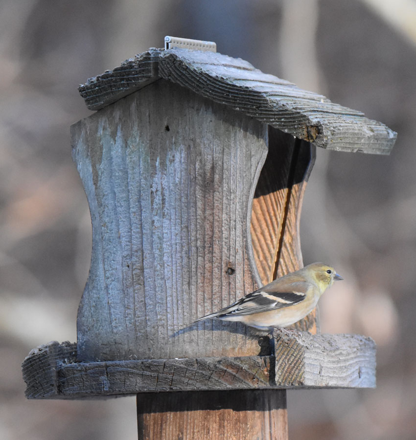 Photo of Goldfinch on Feeder on naturalcrooksdotcom