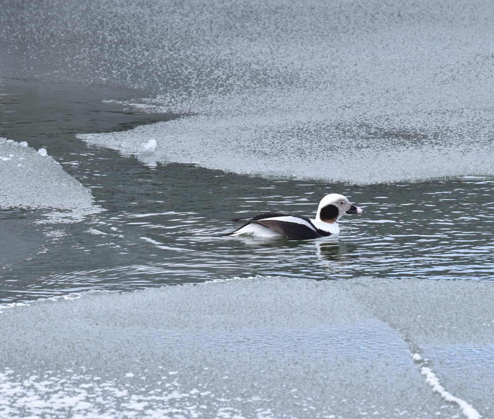 Photo of Long-tailed Duck Male in Ice Sheets on naturalcrooksdotcom