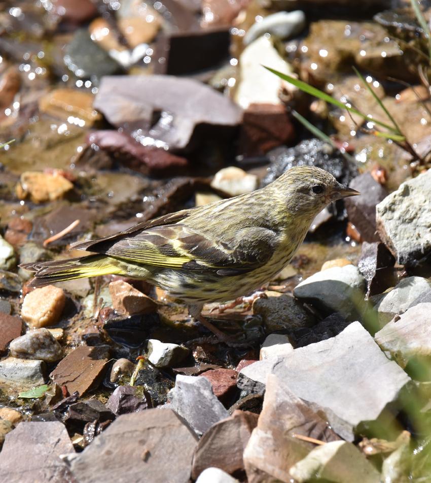 Photo of Pine Siskin Green Morph Male on naturalcrooksdotcom