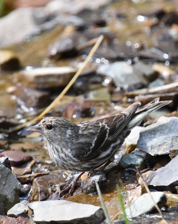 Photo of Pine Siskin Regular Waterton on naturalcrooksdotcom