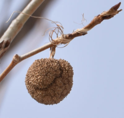 Photo of Sycamore Ball and String on naturalcrooksdotcom