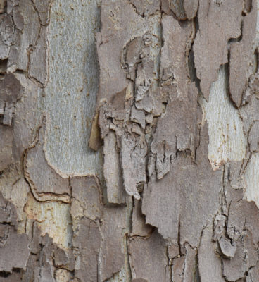 Photo of Sycamore or Plane Tree Bark on naturalcrooksdotcom