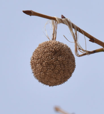 Photo of Sycamore Seed Ball on naturalcrooksdotcom