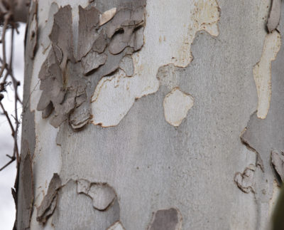 Photo of Sycamore or Plane Tree Bark Grapevines on naturalcrooksdotcom
