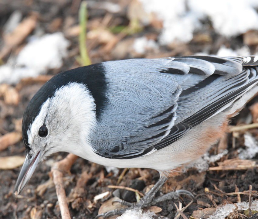 Photo of White Breasted Nuthatch Riverwood on naturalcrooksdotcom