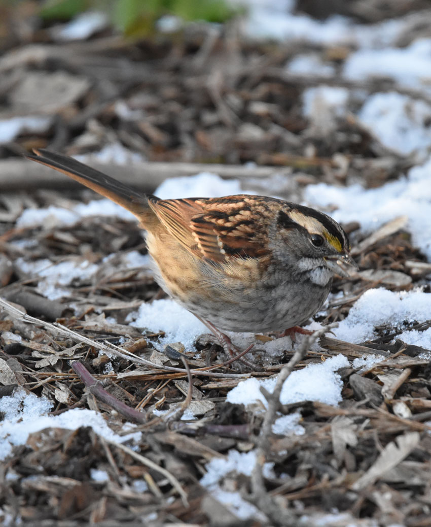Photo of White Throated Sparrow Riverwood on naturalcrooksdotcom