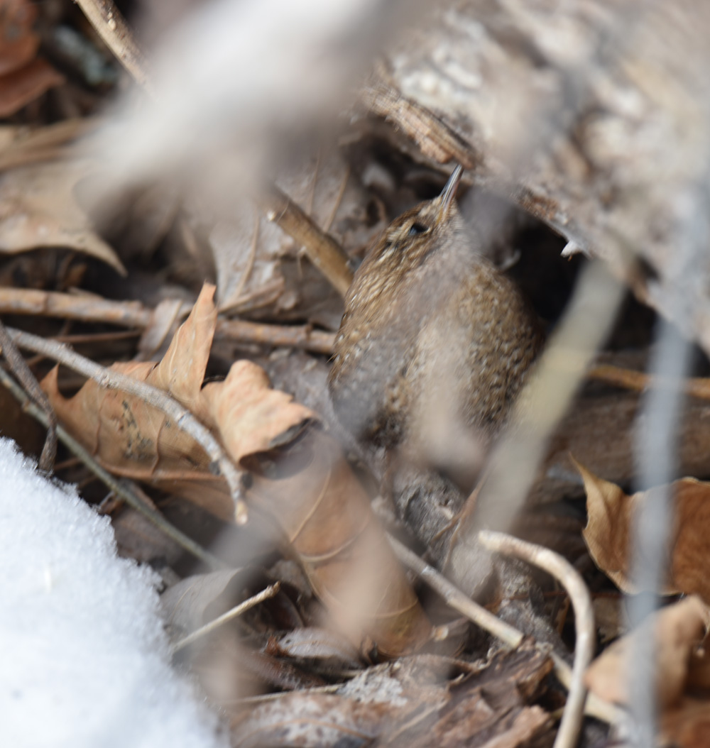 Photo of Winter Wren Log on naturalcrooksdotcom