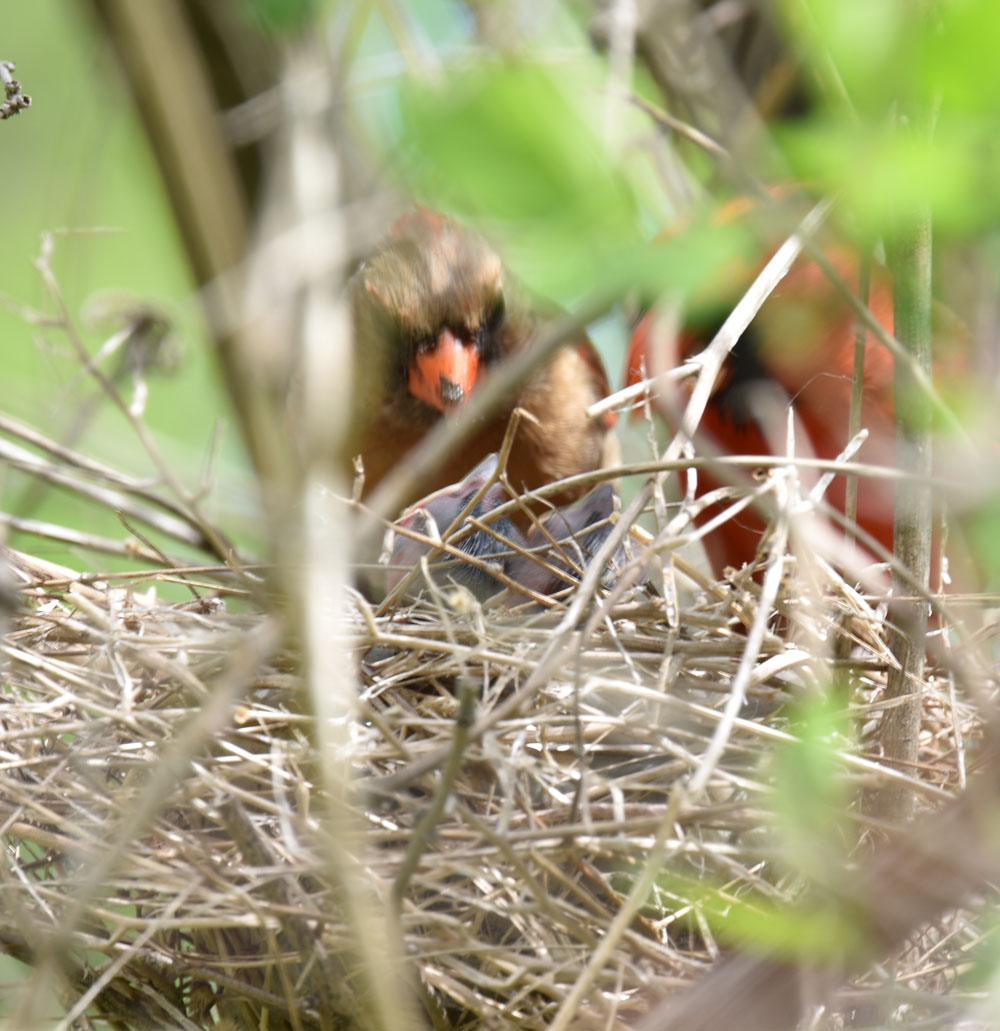 Photo of Cardinal Pair Feeding Young Together May 11 on NaturalCrooksDotCom