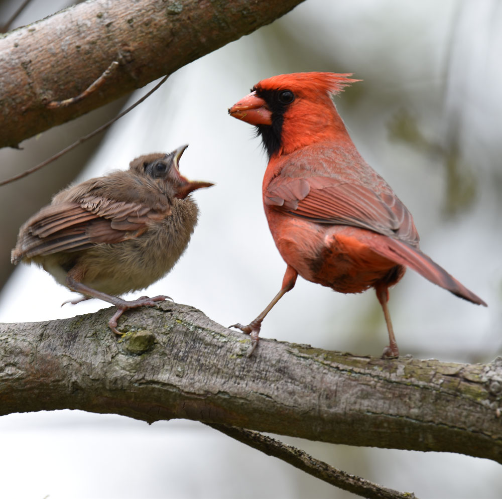 Photo of Northern Cardinal Fledgling Begging Male May 15 On NaturalCrooksDotCom