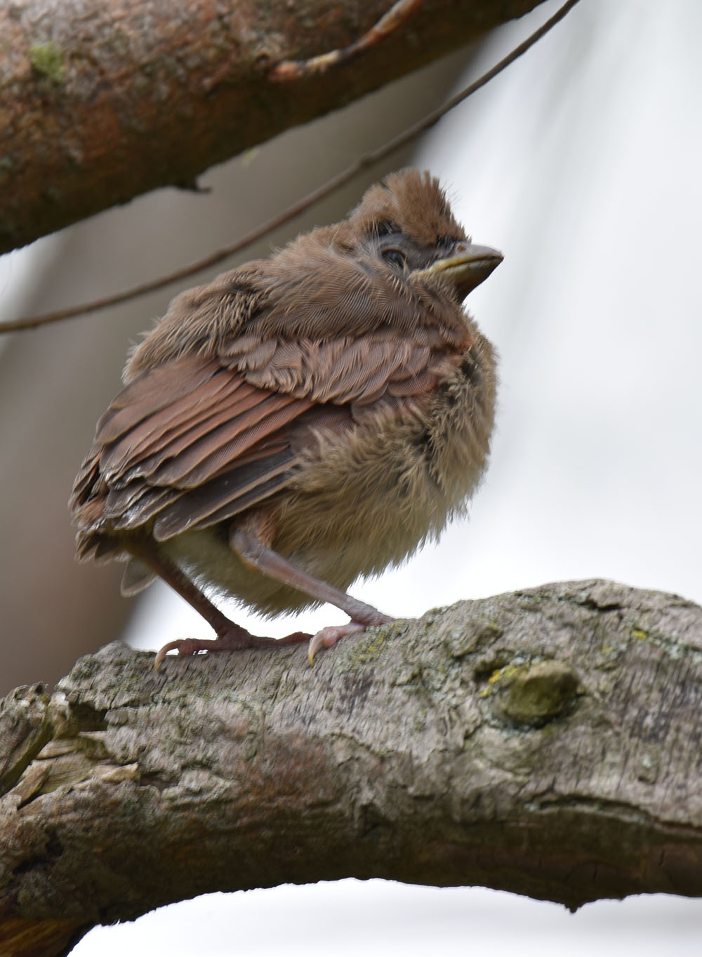 Photo of Northern Cardinal Fledgling May 15 on NaturalCrooksDotCom