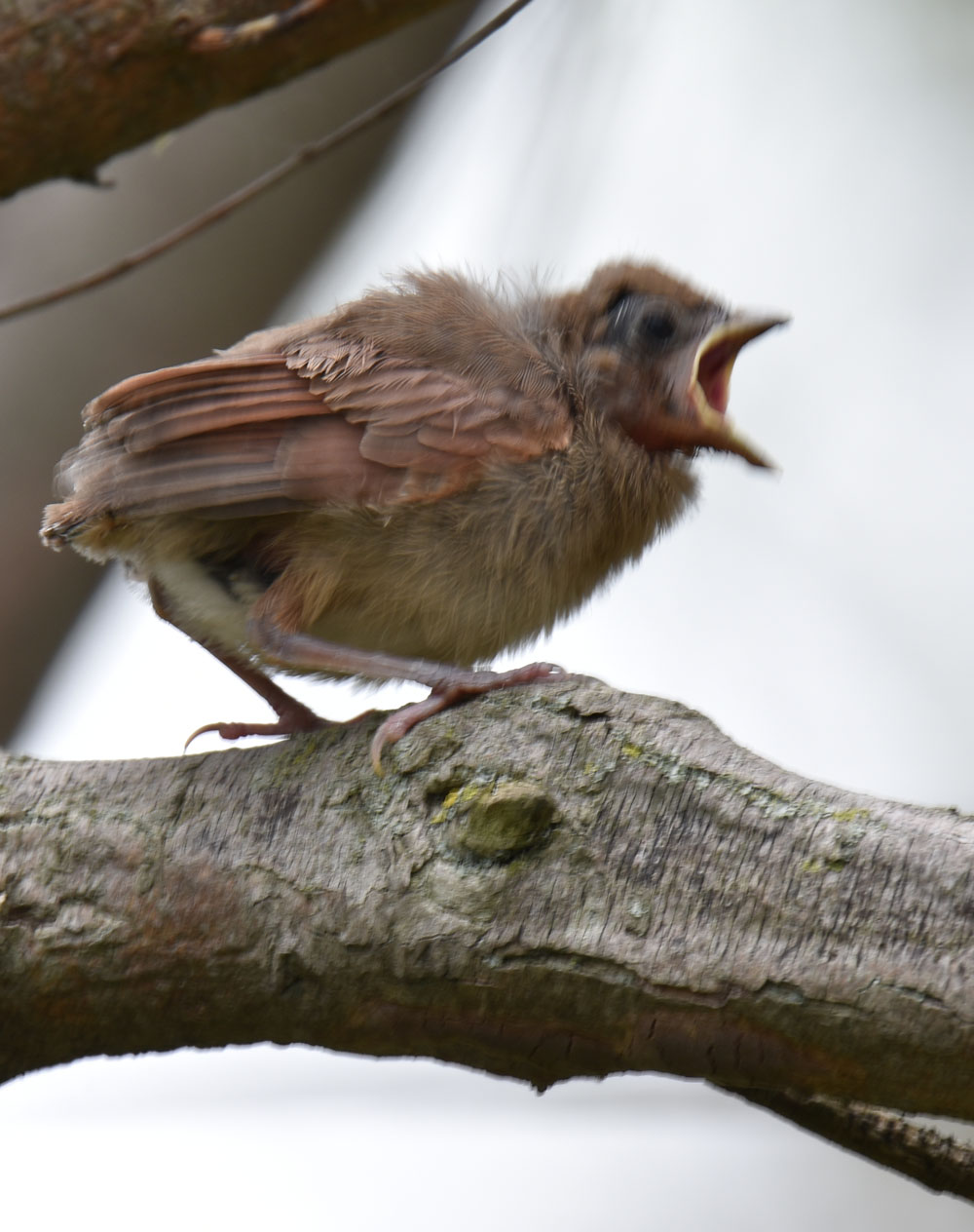 Photo of Northern Cardinal Fledgling Sees Parent May 15 on NaturalCrooksDotCom