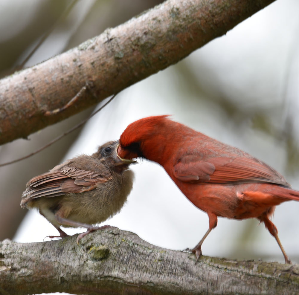 Photo of Northern Cardinal Male Feeding Fledgling May 15 on NaturalCrooksDotCom
