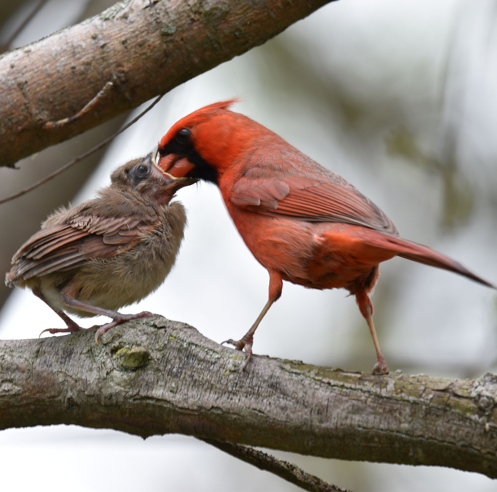 Photo of Northern Cardinal Male Feeding Fledgling Too May 15 on NaturalCrooksDotCom