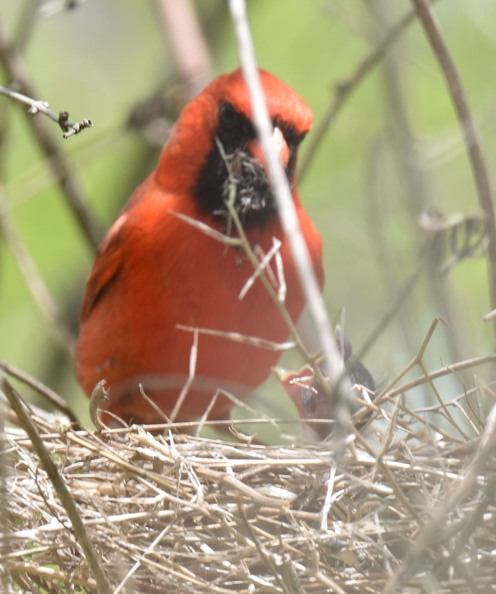 Photo of Northern Cardinal Male Feeding May 10 on NaturalCrooksDotCom