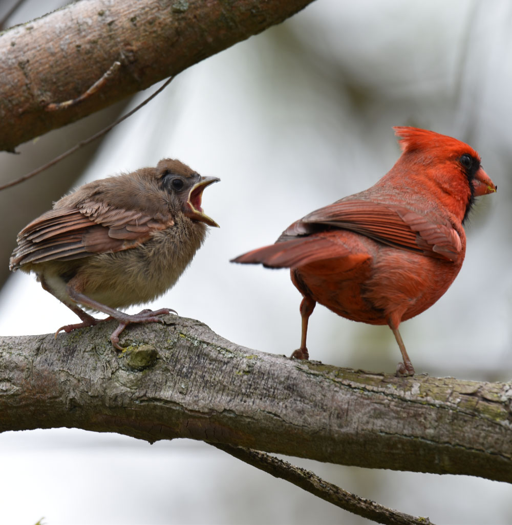 Photo of Northern Cardinal Male Finished Feeding May 15 on NaturalCrooksDotCom