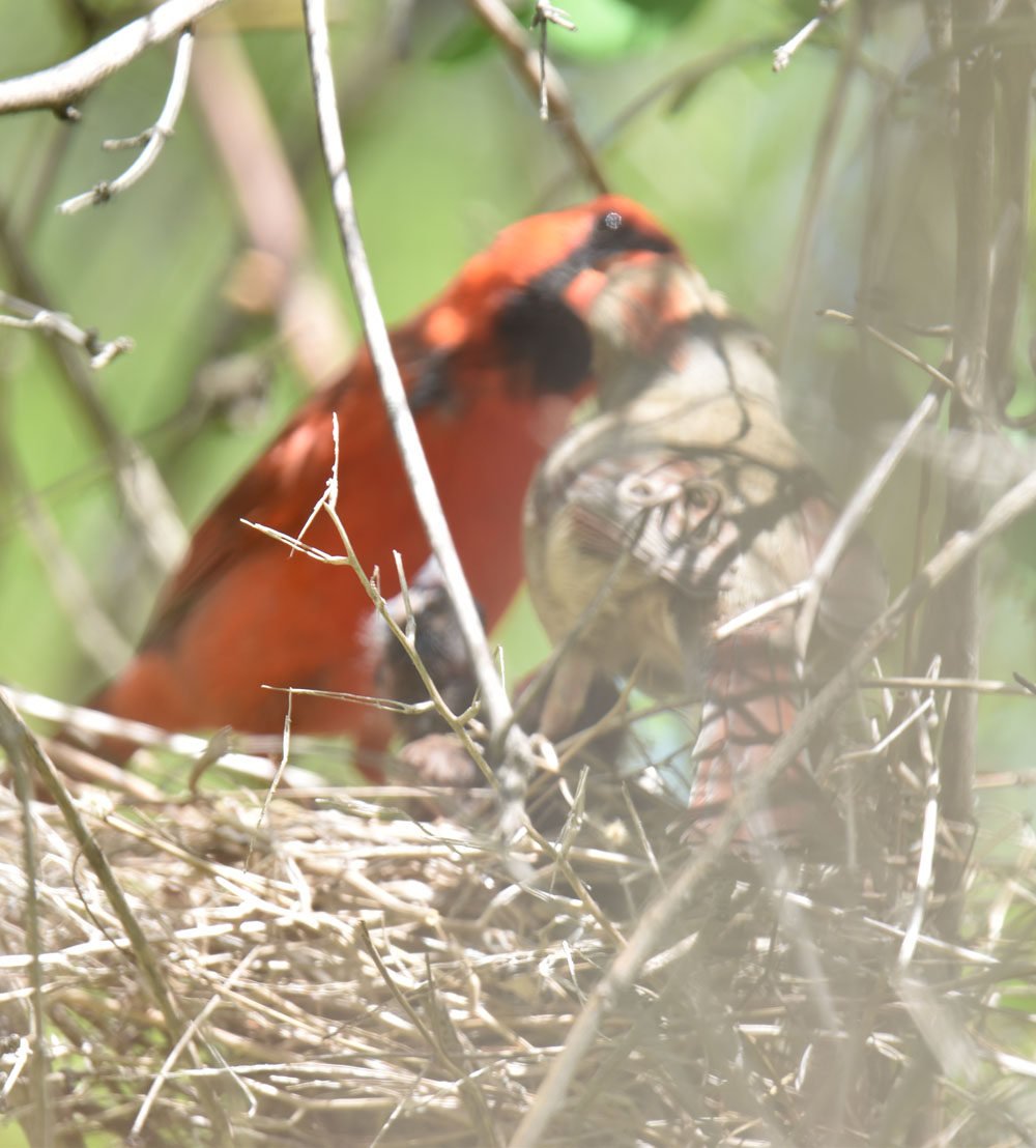 Photo of Northern Cardinal Male Giving to Female May 12 OnNaturalCrooksDotCom